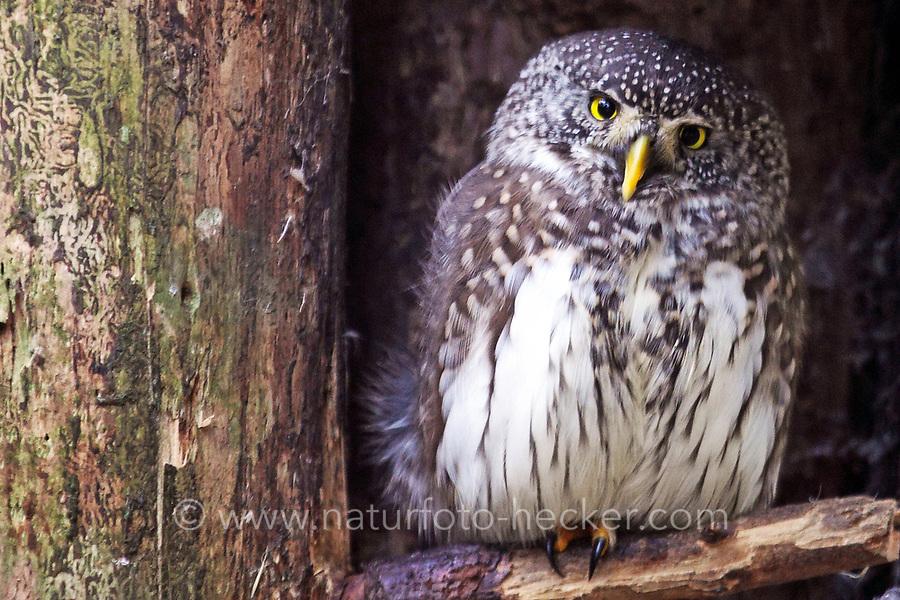 Sperlingskauz, Sperlings-Kauz, Käuzchen, Glaucidium passerinum, pygmy owl, Eurasian pygmy owl, La Chevêchette d'Europe, Chouette chevêchette