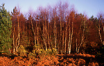 A5EXT7 Silver birch heath vegetation Rendlesham forest, Suffolk, England