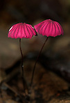 Fungi, Pink Agarics, Marasmius haematocephalus, Hacienda Baru, Costa Rica, tropical jungle, red mushroom, .Central America....
