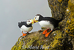 "Horned Puffins (Fratercula corniculata) pair interacting by touching bills (""billing"") while perched on cliff ledge, St. Paul Island, Pribilofs, Alaska, USA."