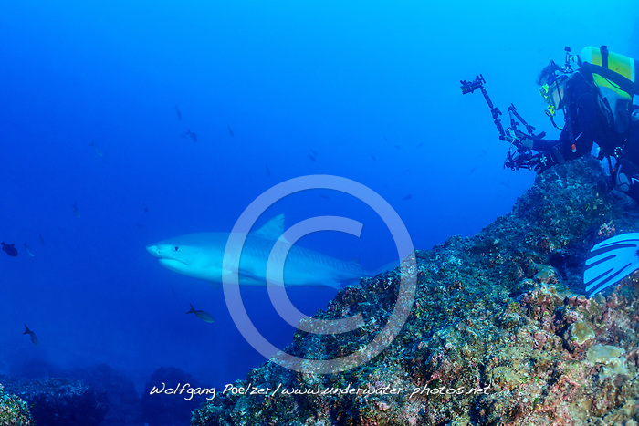 Galeocerdo cuvier, Tigerhai und Taucher mit Kamera, Tiger shark and scuba diver with underwater camera, Insel Cocos, Costa Rica, Pazifik, Pazifischer Ozean, Cocos Island, Costa Rica, Pacific Ocean, MR Yes