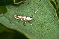 Knospenmotte, Argyresthia brockeella, Tinea aurivittella, Gold-ribbon Argent, Argyresthiidae, Knospenmotten