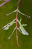 Large Rose Sawfly - Arge pagana - larvae