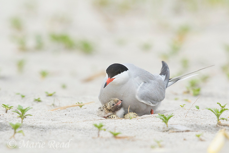 Common Tern (Sterna hirundo) brooding chick, two unhatched eggs also visible in nest scrape, Nickerson Beach, Long Island, New York, USA