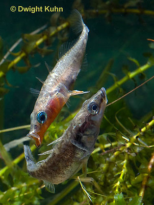 1S47-513z Threespine Stickleback, male courting gravid female with a zigzag dance, she responds with a head-up posture to display her swollen belly, Gasterosteus aculeatus