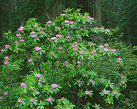 Del Norte Coast Redwood State Park, CA<br /> Flowering Pacific rhododendron (R. macrophyllum) in Redwood (Sequoia sempervirens) forest