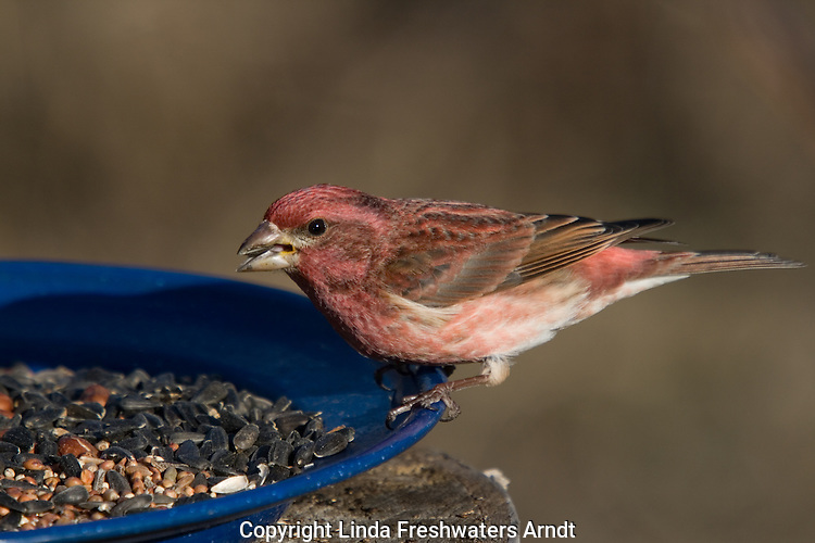 Male purple finch (Carpodacus purpureus) eating sunflower seeds