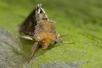 Messingeule, Messing-Eule, Diachrysia chrysitis, Plusia chrysitis, Phytometra chrysitis, Burnished brass, Eulenfalter, Noctuidae, noctuid moths