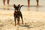 Westin Resort, St. John, USVI, Caribbean. Dog on beach.