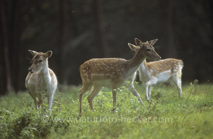 Damhirsch, Dam-Hirsch, Damwild, Gruppe von Weibchen, Dam-Wild, Cervus dama, Dama dama, fallow deer