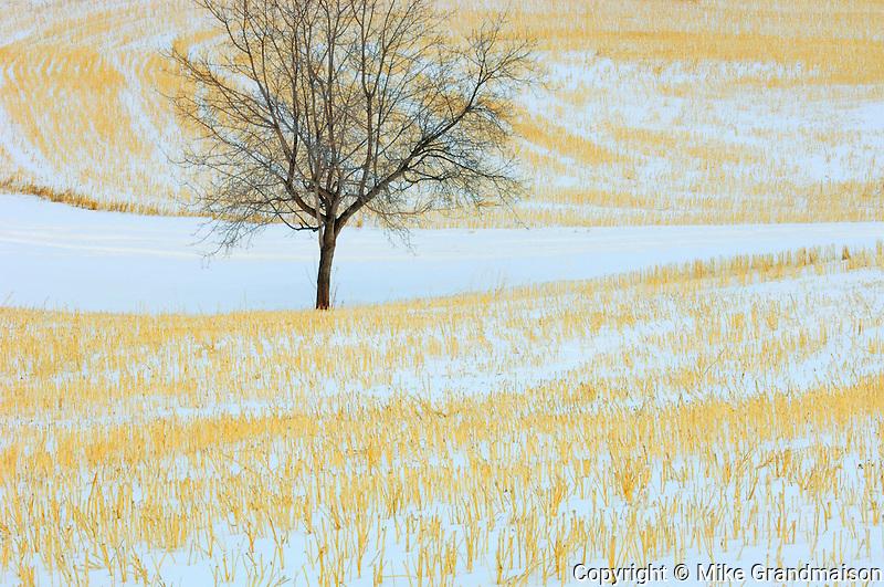 Tree in stubble filed in winter<br /> Spruce Grove<br /> Alberta<br /> Canada