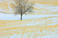 Tree in stubble filed in winter<br /> Spruce Grove<br /> Alberta<br /> Canada