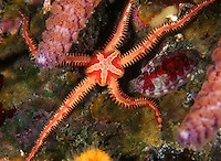 Daisy Brittle Star
