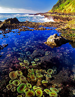 Cape Perpetua sea anemonies. Oregon.