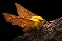 Canary-shouldered thorn moth {Ennomos alniaria}. Peak District National Park, Derbyshire, UK. October.