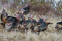 Male Wild Turkeys (Meleagris gallopavo).  Western U.S., March.