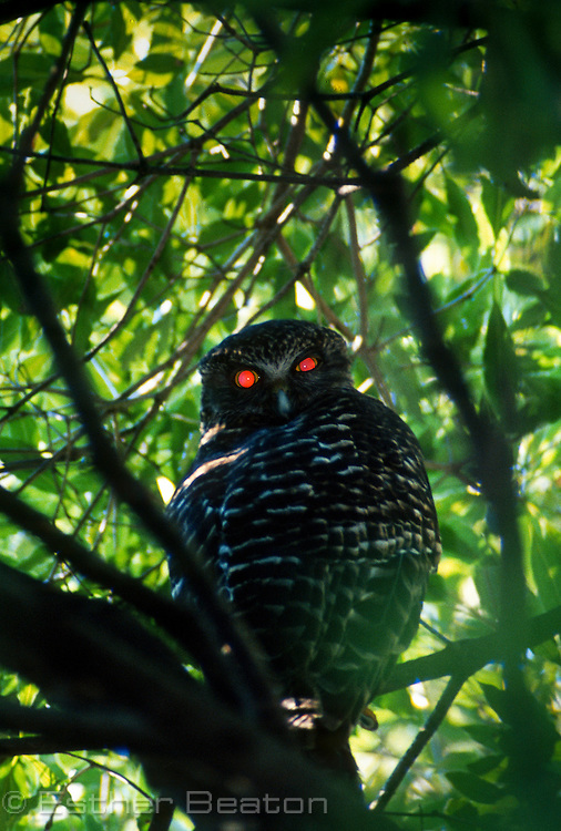 Powerful Owl (Ninox strenua) in daytime roost in Cumberland State Forest, northern Sydney, NSW (red eye from flash)