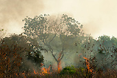 Xingu, Mato Grosso, Brazil. Fire burning through woodlands in the cerrados forest; a majestic tree with flames all around. Heat haze.
