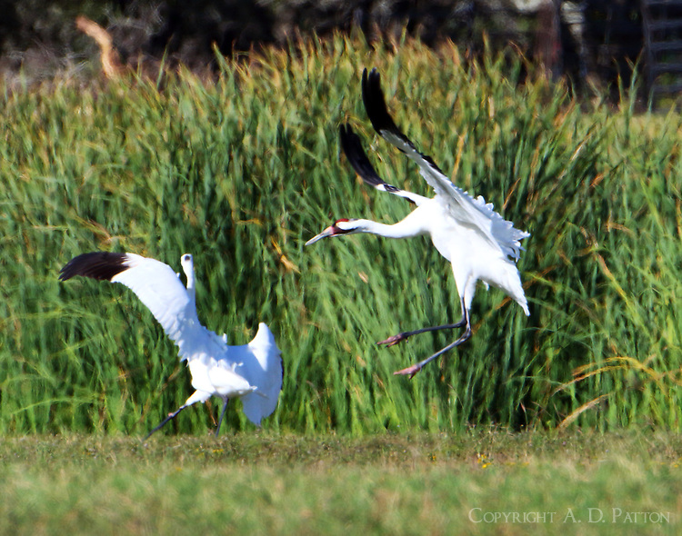 Whooping cranes fighting