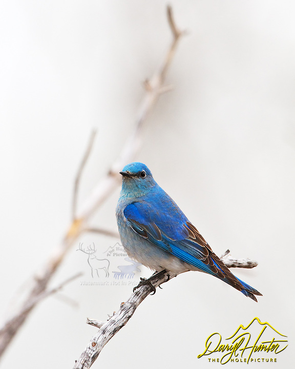 Mountain Bluebird Yellowstone National Park