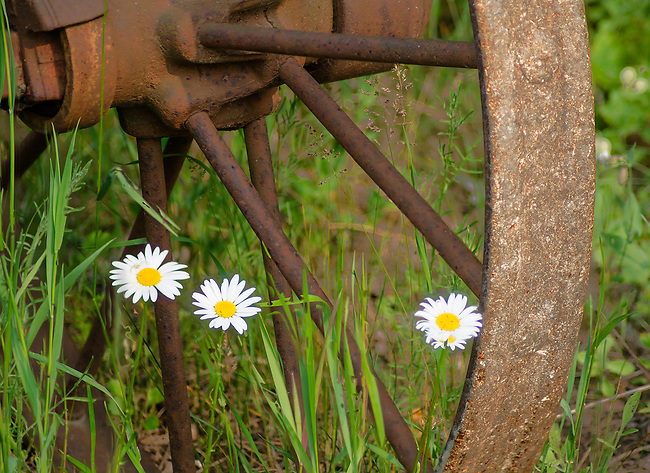 Daisys grow through the spokes of an old farm implement wheel in a field in Ellision Bay, Door County, Wisconsin