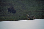 Coyote with Bison in the background in Yellowstone National Park.