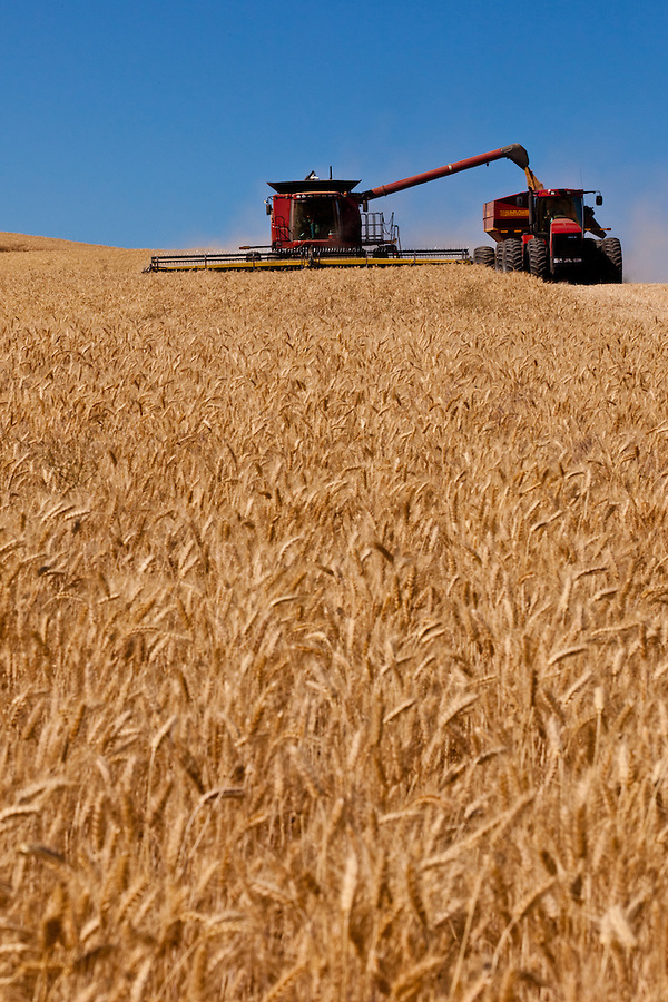 """A case 8120 executes a """"loading on the go"""" maneuver, offloading raw wheat kernels into a Sunflower grain trailer pulled by a Case 335 tractor."""