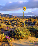 USA; California; San Diego.  Agave Wildflowers in Anza Borrego Desert State Park