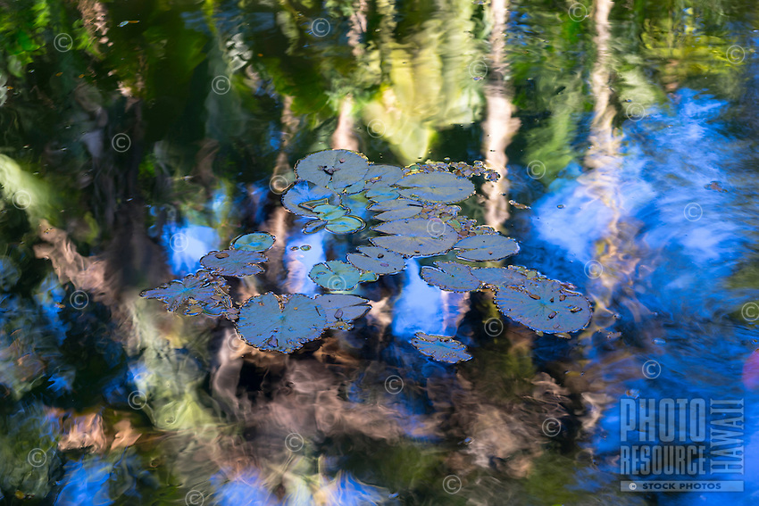 Lily pads in a pond reflecting the botanical garden surrounding it, Big Island.