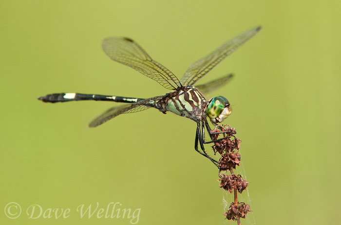 340050002 a wild male three-striped dasher micrathyria didyma perches on a dead plant stem at santa ana national wildlife refuge in the lower rio grande valley of south texas
