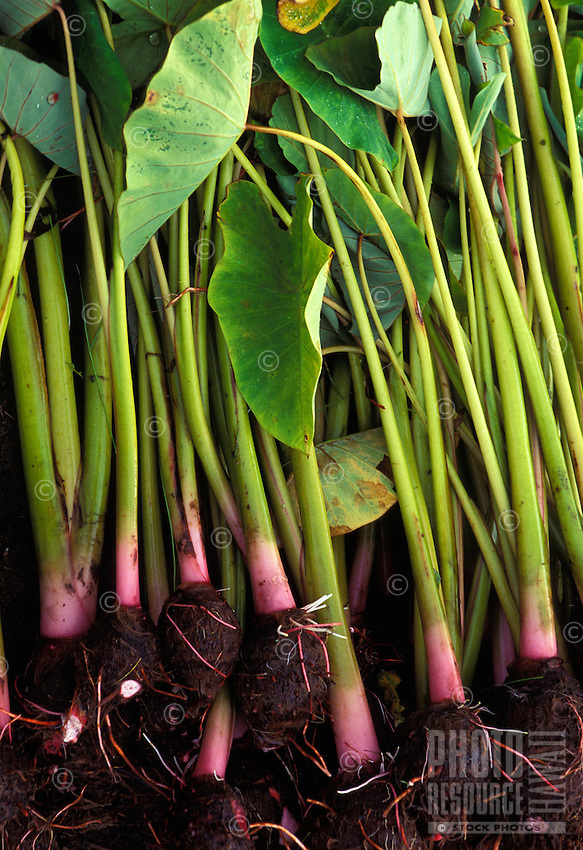 Harvested kalo (taro) with stems, leaves, and roots, at Kaala Farms, Waianae, Oahu