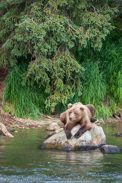 Brown bear rests on a boulder in the Brooks River, Katmai National Park, southwest, Alaska.