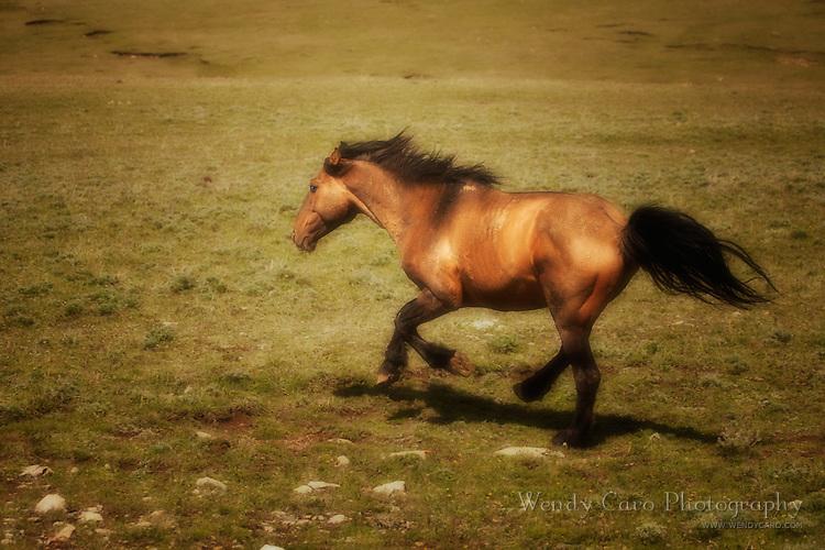 Pryor Mountain wild mustang, Sandman, dun stallion, gallops back to his band.