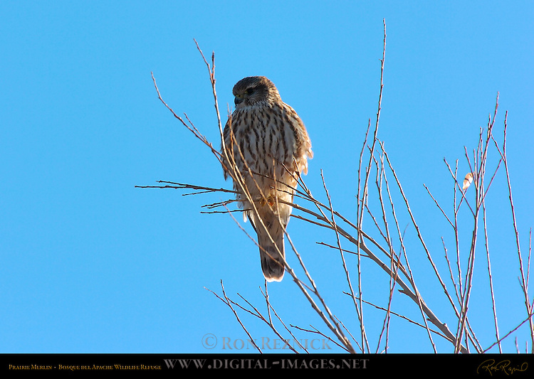 Prairie Merlin, Bosque del Apache Wildlife Refuge, New Mexico