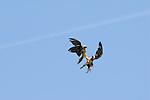 Lammergeier or Bearded Vulture fighting in mid flight. Ordesa y Monte Perdido national park, Aragon,Pyrenees, Spain.