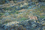 A Puma looks out from its perch on the hillside in Patagonia, Chile.