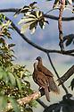 Grey-headed Chachalaca {Ortalis cinereiceps} pair. Cordillera de Talamanca mountain range, Caribbean Slopes, Costa Rica. May.