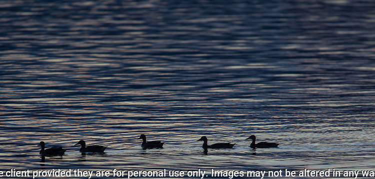 Ducks are silhouetted in the waters off Sinclair Inlet at dusk. Jim Bryant Photo. ©2016. All Rights Reserved.