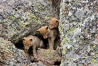 Wild Coyote (Canis latrans) pups at entrance to their den in a rockslide.  Western U.S., June.   (See photo #B2B3996 for overall image of densite.)