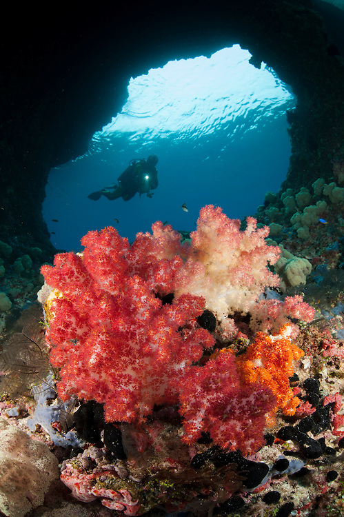 "A diver approaches soft corals (Dendronepthya sp.)  through ""Boo Windows"" Southern Raja Ampat, West Papua, Indonesia"