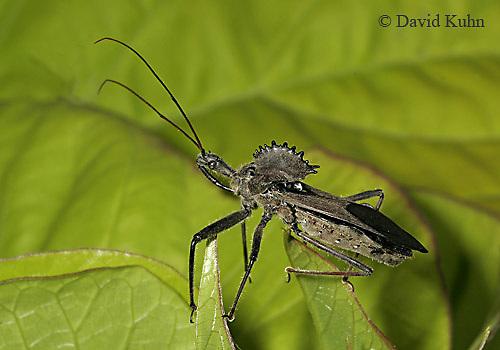 0918-06pp  Assassin bug - Wheel bug - Arilus cristatus - © David Kuhn/Dwight Kuhn Photography