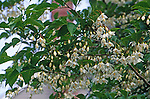 9177-CC Japanese Snowdrop Tree or Snowbell, Styrax japonicus, flowering branches, at Lake Oswego, Oregon