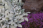 "drought tolerant plantings along the hillside garden and pathway include Thyms coccineus ""red creeping thyme"" and Stachys byantia helen von stein. ""Lamb's ears"""