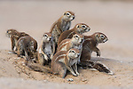 Ground squirrels, Xerus inuaris, at burrow, Kgalagadi Transfrontier Park, Northern Cape, South Africa