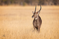 Typically a gregarious species, this lone male Waterbuck (Kobus ellipsiprymnus) wasn't far away from a bachelor group when we saw him. These are large antelopes - males average 50 inches (127 cm) tall at the shoulder and weigh 437-578pounds (198–262 kg).