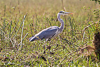 Grey Heron, Shire River, Liwonde NP, Malawi