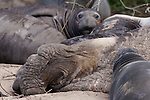 old bull and weaners, northern elephant seals