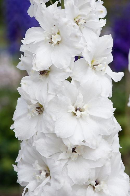 Delphinium 'Elizabeth Cook', mid June.