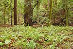 Sword ferns, Polystichum munitum, and coast redwood, Sequoia sempervirens, Hendy Woods State Park, California