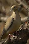Mourning Dove Western Turtle Dove Zenaida macroura Southern California